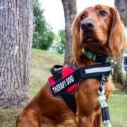 Therapy dog wearing a therapy vest - Oberg Law APC Allergies vs Mental Wellness Blog Post
