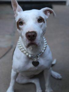Sophie, white pit bull - Oberg Law Group APC