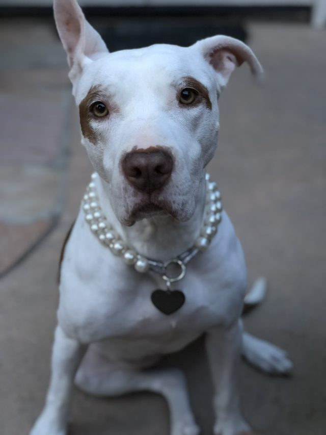 Sophie, white pit bull - Oberg Law Group APC