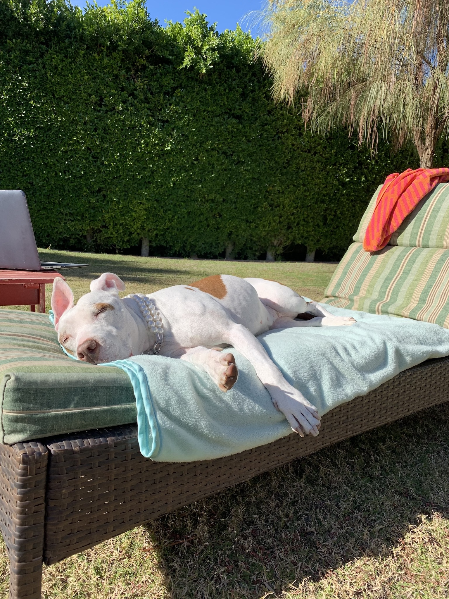 Sophie, white pit bull on lounge chair - Oberg Law Group APC